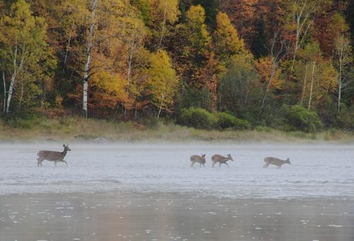 Deer seen on an Allagash Canoe Trip
