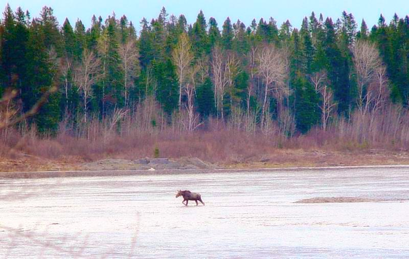 Maine moose crossing the St John river