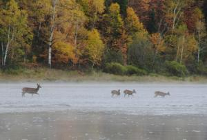 allagash-canoe-trips-wildlife-deer
