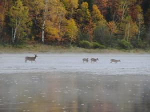 Four deer in river